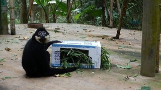Gibbons Can't Make Sense of Mysterious Box - Video