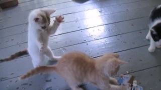 Pouncing kitten determined to nab toy from older brother - Video