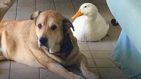 Duck And Dog Are New Best Friends