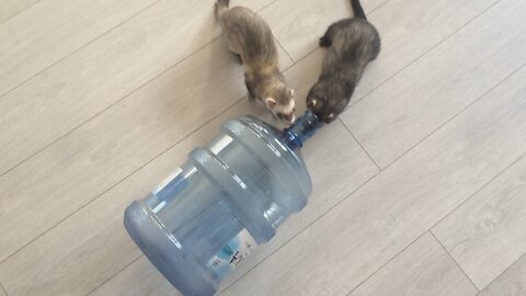 Ferrets are tormented by thirst