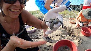 Woman helps baby turtles dig out of their nests