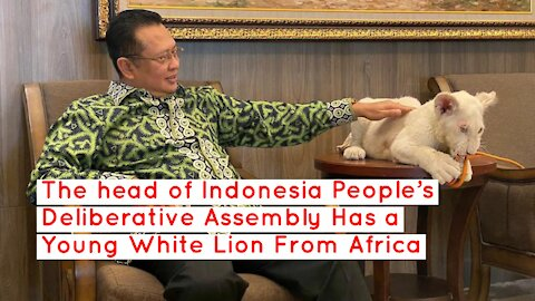 The head of Indonesia People's Deliberative Assembly Has a Young White Lion From Africa