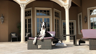 Max and Katie the Great Danes Enjoying Pool Time  - Video