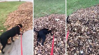 Hilarious footage of a dog diving into a pile of leaves