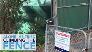 Mama Koala Rescues Baby Trapped On the Other Side of A Fence