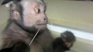 Responsible monkey flosses teeth