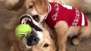 Father & son Golden Retrievers wrestle over tennis ball - Video