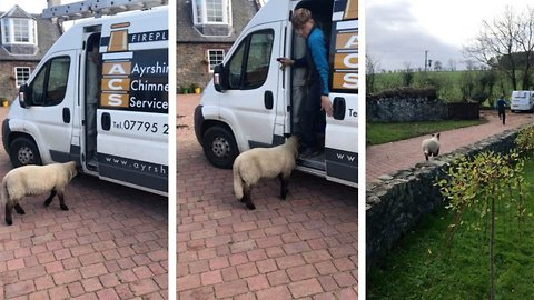 Wool Ewe Leave Me Alone? Macho Workman Locks Himself In Va After Being Chased By Aggressive Sheep
