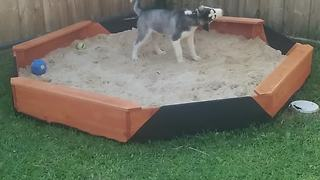 Husky Puppy Loses It When Owners Get Him A Brand New Sandpit - Video