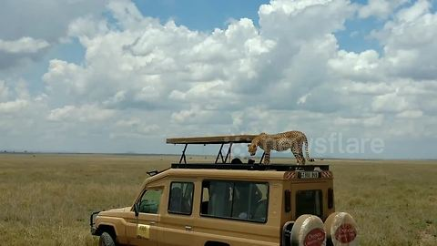 Bold cheetah jumps on jeep's roof in the Serengeti