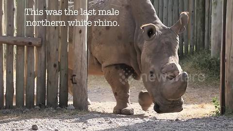 Video captures Sudan, the last male northern white rhino, weeks before death