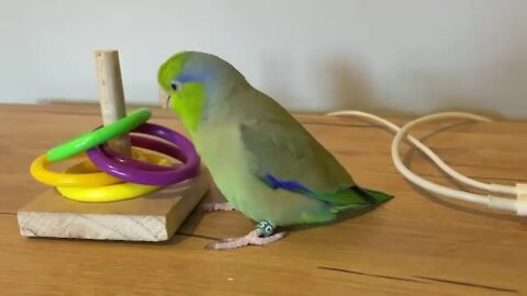 Parrot playing with rings manages to perform circus trick