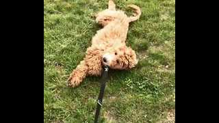 Dog Refuses to Go for a Walk - Video