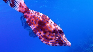 Bizarre color-changing fish looks for help from smaller reef fish - Video