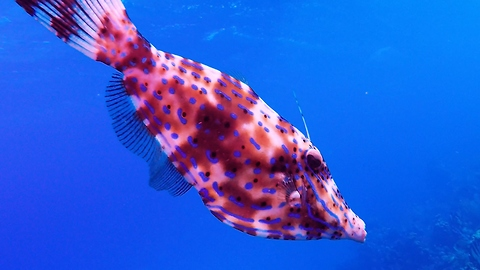 Bizarre color-changing fish looks for help from smaller reef fish