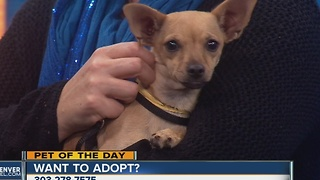 Pet of the day for November 20th - Tina the Chihuahua mix - Video