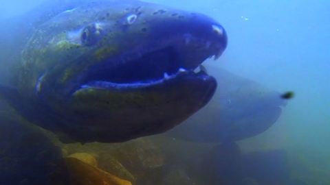 GoPro captures extreme footage of salmon spawn