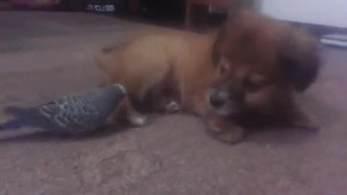 Parrot and puppy share endearing friendship - Video