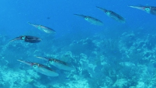 Squid and adorable babies cruise over the coral - Video
