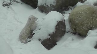 Curious Polar Bear Cub Experiences Snow For The First Time - Video