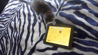 Kitten extremely focused for tablet game - Video