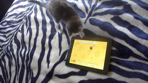 Kitten extremely focused for tablet game