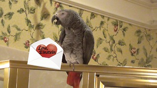 Will you be Einstein the Parrot's Valentine? - Video