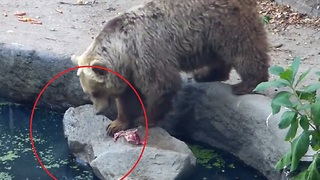Killer Bear Shows Unbelievable Compassion, Saves Life Of Drowning Bird