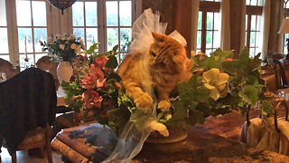 Funny Cat Unwraps Bow Sitting in Flower Bowl  - Video