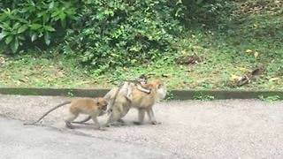 Baby Monkey Hitches a Ride on Mama's Back!