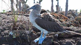 The blue-footed booby is one of Galapagos' most iconic animals