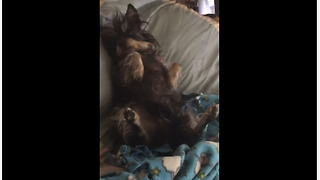 Dog expects belly rubs when owner walks into room - Video