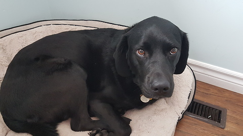BLACK LABS LOVE-HATE RELATIONSHIP WITH VACUUM