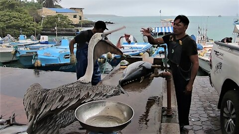 Kindly fisherman shares with begging pelicans at Galapagos Islands fish market