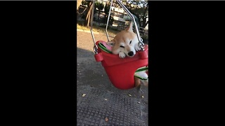 Japanese dog super relaxed during swing ride - Video