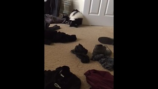 Pet skunk casually steals clothes