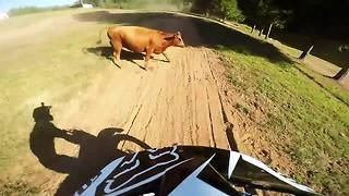 Guy crashes into cow while riding dirt bike - Video