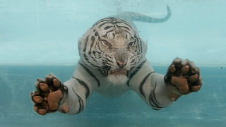 TIGER SWIM: Bengam Tiger Dives For Food - Video