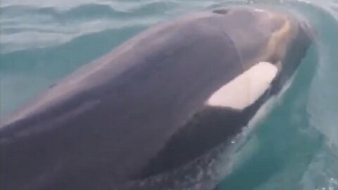 Killer whale performs belly roll during close encounter with boat