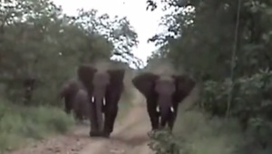 Two angry elephants unexpectedly charge a vehicle - Video