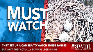 Camera Set Up To Film Hatching Of Bald Eagle Babies Captures Chilling Footage In Background - Video
