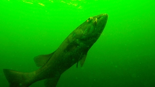 Camera dropped overboard records large fish with embedded object