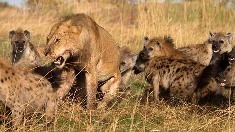 Lion vs Hyenas: Pack of Hyenas Attack Lion And Steal Its Prey