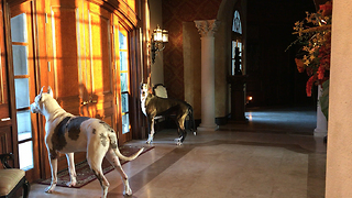 Max and Katie the Great Danes eagerly await owner's arrival  - Video