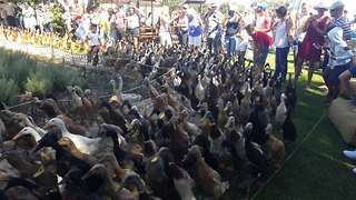World famous 'Running of the Ducks' is a sight to behold - Video