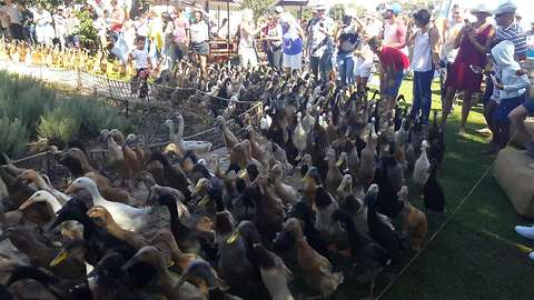 World famous 'Running of the Ducks' is a sight to behold