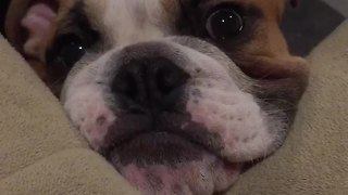 Bulldog puppy makes it clear he wants treats