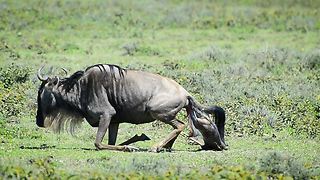 Wildebeest Gives Birth To Clumsy Calf: SNAPPED IN THE WILD - Video