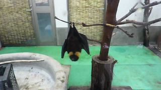 Frustrated bat struggles to climb slippery pole - Video