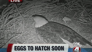 Eagle cam eggs expected to hatch soon - Video
